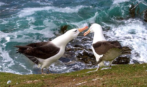 008_Black-browed_Albatross_Display