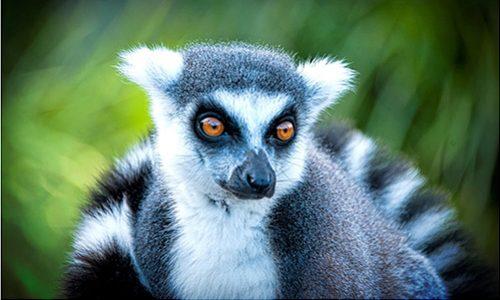 010_Lemur